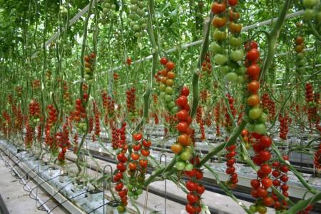 Cultivo de tomates en un invernadero